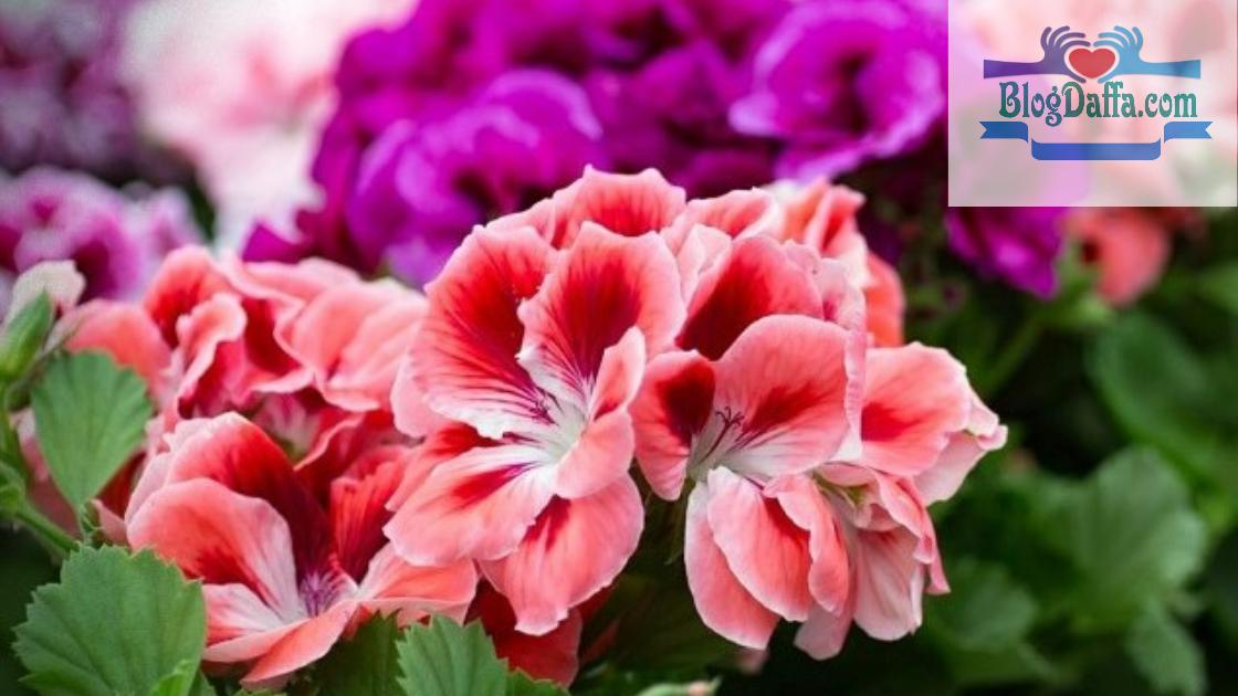 Cara menanam bunga geranium dengan mudah