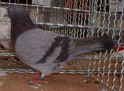 broder pigeons - tumbler pigeons