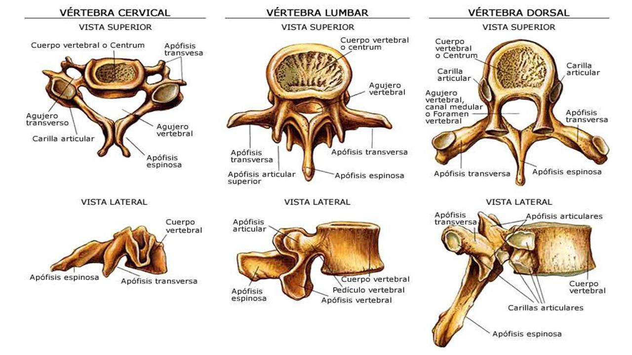 SER SERVIDOR: Anatomía y fisiología de la columna vertebral