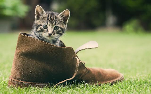Klein katje in een grote schoen