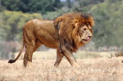 Klasifikasi Panthera leo senegalensis