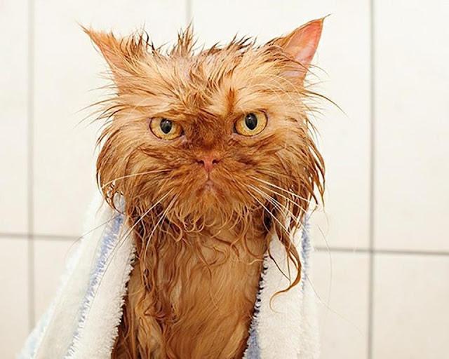 Biểu cảm xấu phát hờn của những con vật khi bị lôi đi tắm