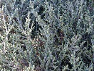 Stoebe passerinoides - Branle blanc