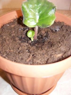 Violete de parma plantare,