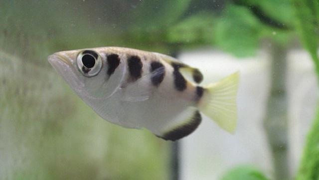 Selain Jago Memanah Ikan Ini Juga Bisa Mengenali Wajah Manusia