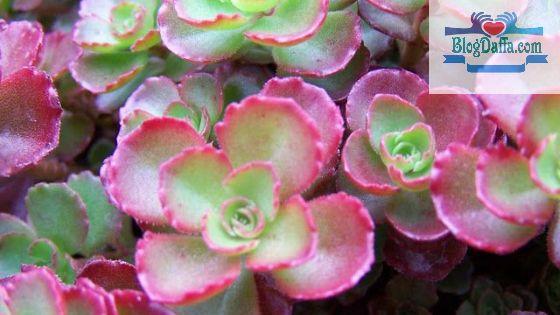 Roseum Plant