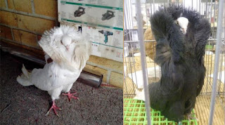 Sekilas Info Tentang Burung (Berita Burung) - Cantiknya Merpati Jacobin si Burung Modis Sedunia