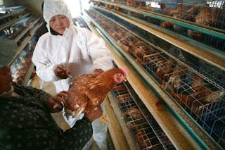 proses vaksinasi pada unggas atau ayam