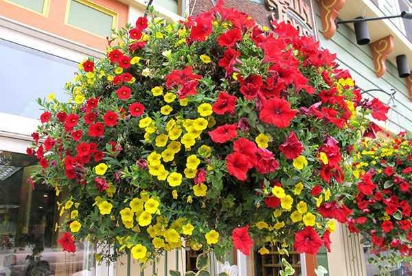 ảnh đẹp hoa dạ yến thảo 1