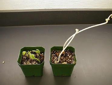 Pertumbuhan yang amat cepat di dalam gelap ini disebut etiolasi