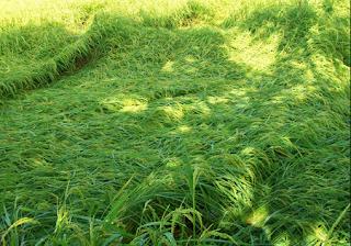 cara agar padi tidak roboh, memperkuat batang padi, padi tida rebah di musim hujan, padi rebah