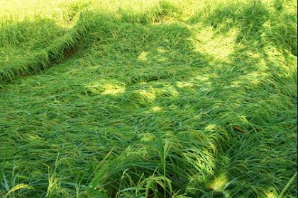 Cara efektif mencegah padi roboh meski di musim penghujan.