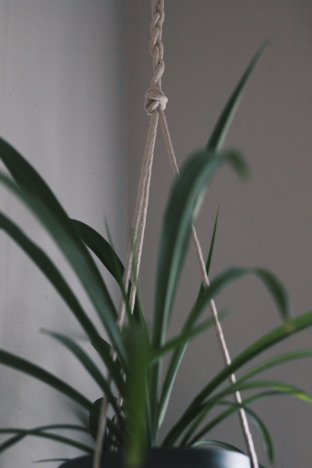 Spider plants up high - how to hang a plant