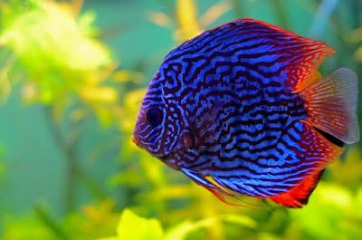 Gambar Ikan Discus