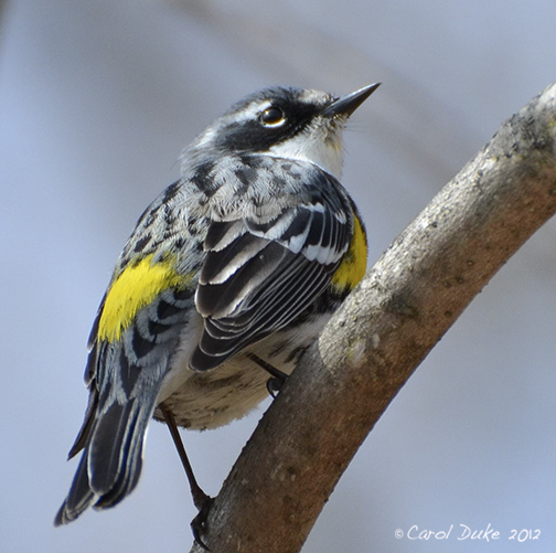 A Bestiary ~ Songbirds ~ Yellow-rumped Warbler