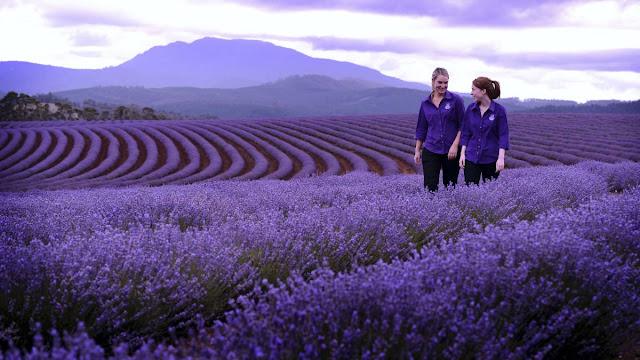 cánh đồng hoa oải hương đẹp nhất thế giới 34