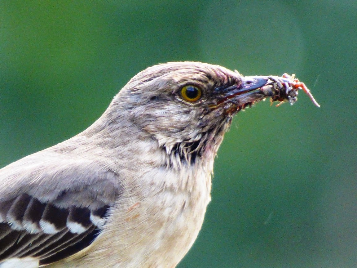 Geotripper's California Birds: April 2015