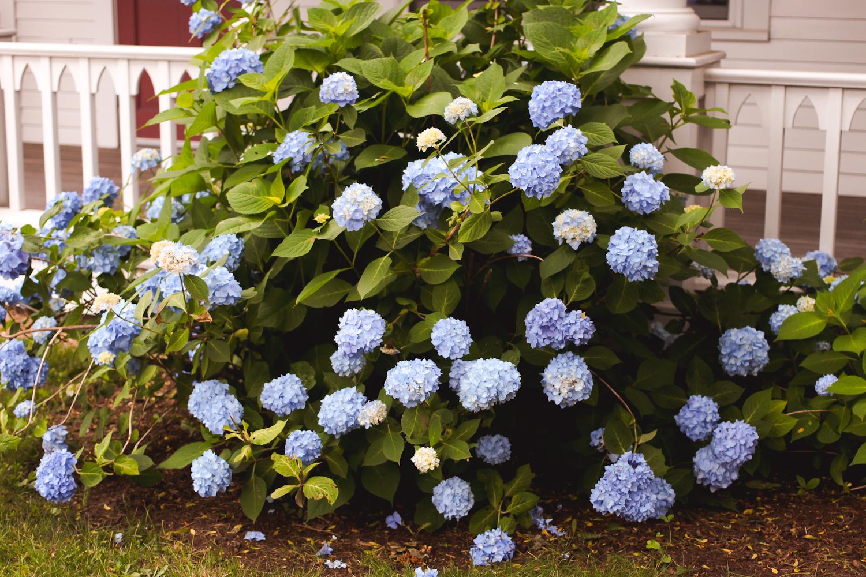 marthas vineyard, marthas vineyard flowers