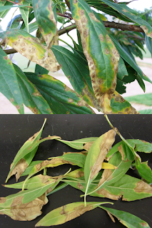 A composite photograph of chitalpa leaves infected with bacteria. The upper photo show marginal yellowing with brown spots and the bottom photo show large irregular ares of necrosis.