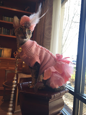 Coco, the Couture Cat, looking very elegant, Cornish Rex