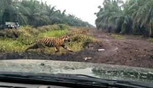 Nekatnya Kadus Akhiri Duel Harimau Vs Kerbau: Datuk, Jangan Ganggu Kami