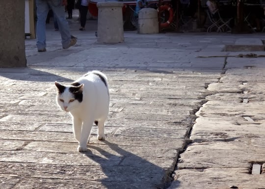 cat of dubrovnik croatia