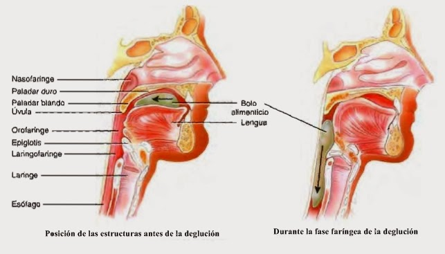 Esófago - Canal alimentario