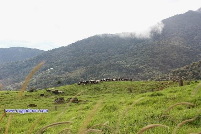 Menyusukan anak lembu di Desa Dairy Farm