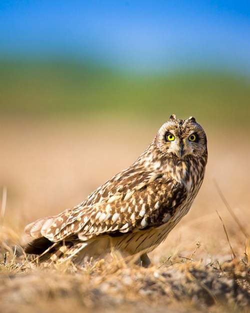 Indian birds - Photo of Short-eared owl - Asio flammeus