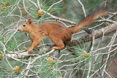 Esquirol (Sciurus vulgaris)