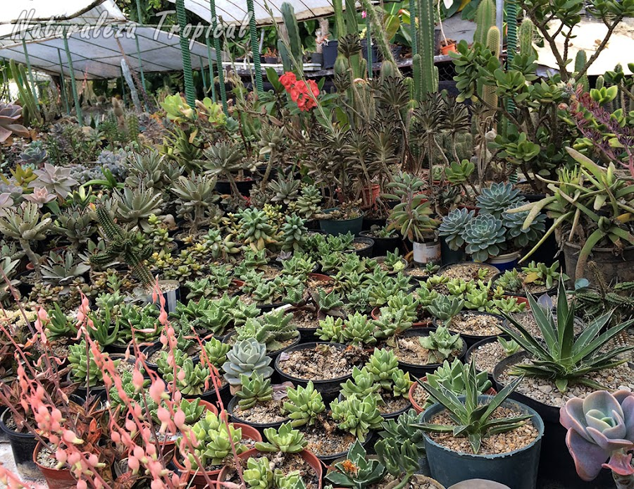 Colección de plantas suculentas para su futura siembra en xerojardines