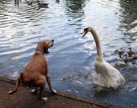 Loch Ness Monster Is The Hugh Gray Photograph A Swan