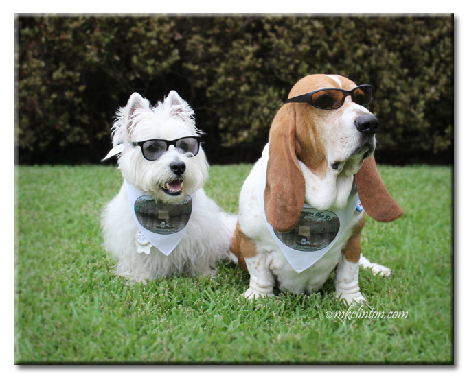 Bentley Basset Hound and Pierre Westie in sunglasses