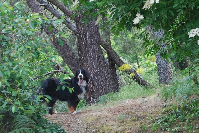 Boyero de Berna en medio de un bosque