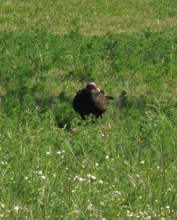 Turkey vulture with carrion in a field, Morgan Hill, California