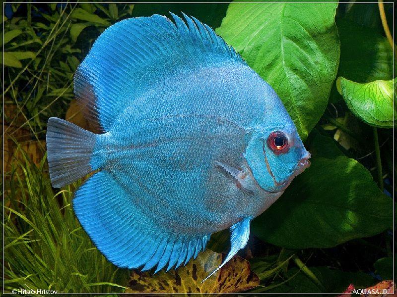 cara mengawinkan ikan discus