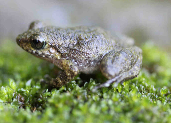 View rare frogs found in Haiti picture | DAILY NEWS