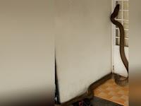 Detik-detik Menegangkan Ular King Kobra Masuk Rumah