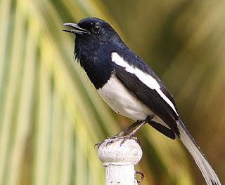 Mengetahui 5 Ciri Ciri  Burung Kacer Yang Sedang Mengalami Birahi Rendah