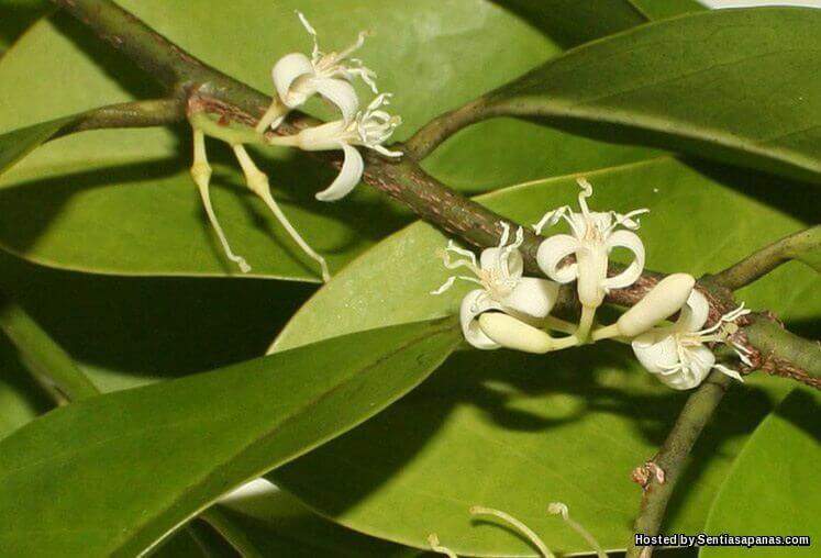Herba Muira Puama Merawat Masalah Tenaga Batin