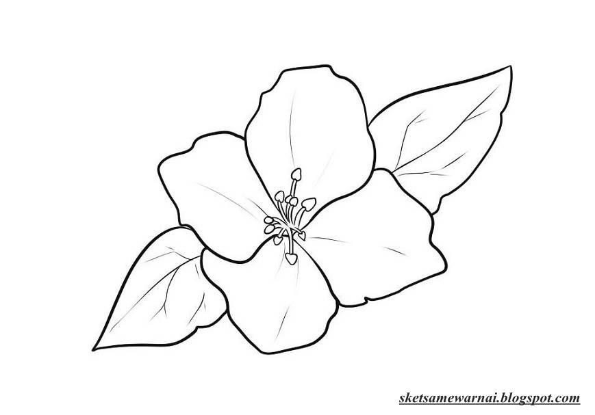 sketsa mewarnai gambar bunga melati