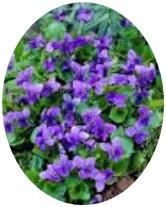 Viola Odorata Flower Seeds