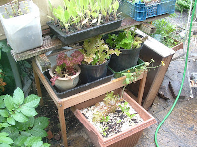Photo of various pots growing lettuces on a patio