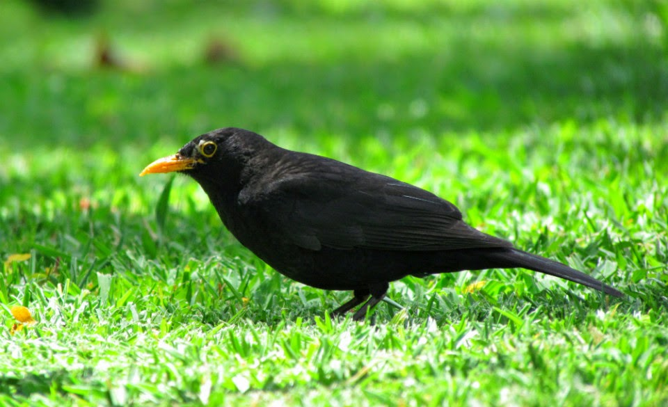 A blackbird in the garden