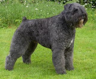 Bouvier des Flandres-dogs-pets-dog breeds