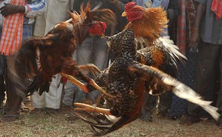 Ayam Aduan dan Jenis-jenisnya