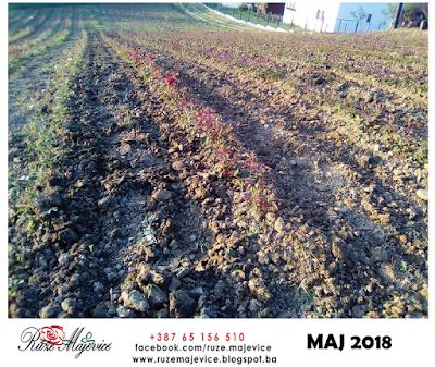 Rasadnik ruža u maju. Peljave 2018
