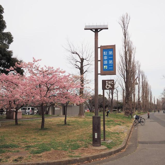 水元公園 河津桜