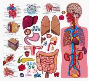 Rangkuman Sistem Organ Tubuh Manusia Dan Fungsinya Perpustakaan Ilmu Pengetahuan