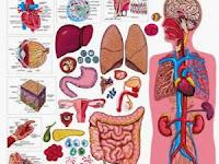 Sistem Organ Pada Tubuh Manusia Dan Fungsinya Terlengkap